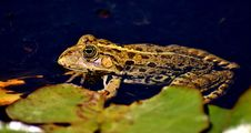 Free Toad, Ranidae, Amphibian, Frog Royalty Free Stock Image - 100573506