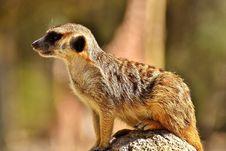 Free Meerkat, Mammal, Fauna, Terrestrial Animal Stock Photos - 100573553