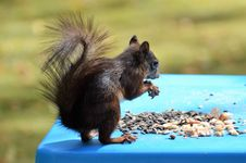 Free Fauna, Mammal, Squirrel, Rodent Stock Images - 100573564