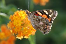 Free Butterfly, Insect, Moths And Butterflies, Brush Footed Butterfly Royalty Free Stock Image - 100573856