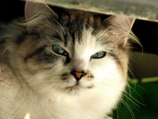 Free Cat, Whiskers, Mammal, Small To Medium Sized Cats Royalty Free Stock Image - 100575716