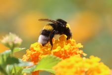Free Honey Bee, Bumblebee, Bee, Insect Stock Photography - 100576302