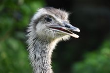 Free Bird, Ostrich, Beak, Ratite Stock Images - 100576934