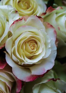 Free Flower, Rose, Rose Family, Garden Roses Royalty Free Stock Image - 100576976