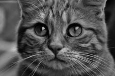 Free Cat, Whiskers, Face, Black And White Royalty Free Stock Photo - 100577205