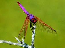 Free Dragonfly, Insect, Dragonflies And Damseflies, Damselfly Royalty Free Stock Images - 100577329