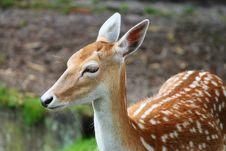 Free Wildlife, Terrestrial Animal, Fauna, Deer Stock Image - 100577341