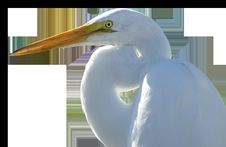 Free Beak, Bird, Fauna, Egret Stock Images - 100577694