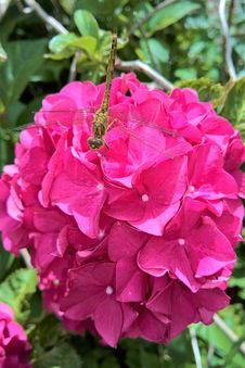 Free Flower, Pink, Plant, Floribunda Royalty Free Stock Photography - 100577707