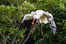 Free Bird, White Stork, Beak, Stork Stock Image - 100577791