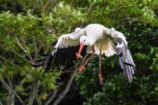 Free Bird, White Stork, Beak, Stork Stock Image - 100577791