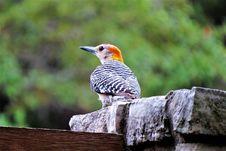 Free Bird, Beak, Fauna, Woodpecker Stock Images - 100578014
