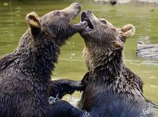 Free Brown Bear, Grizzly Bear, Bear, Mammal Stock Photos - 100578033