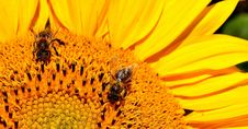 Free Honey Bee, Bee, Yellow, Flower Stock Images - 100578044