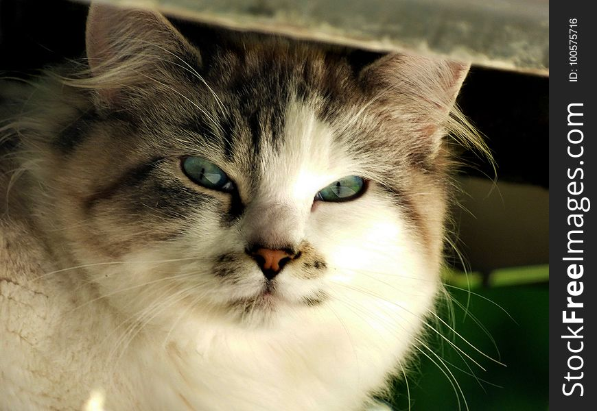 Cat, Whiskers, Mammal, Small To Medium Sized Cats