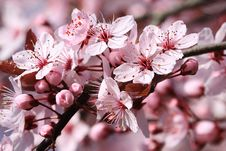 Free Blossom, Flower, Pink, Spring Royalty Free Stock Images - 100580089