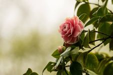 Free Flower, Plant, Rose Family, Pink Royalty Free Stock Images - 100580959