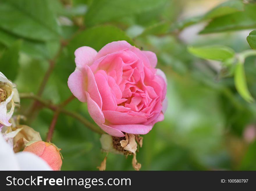 Flower, Rose, Rose Family, Pink