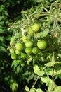Free Tomato Plant Royalty Free Stock Images - 10061379
