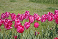 Free Pink Tulips Horizontal Royalty Free Stock Photos - 10062688