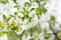 Free Blossom Cherry Tree Royalty Free Stock Images - 10068819