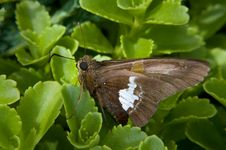 Free Silver Spotted Skipper Stock Photography - 10060062