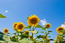 Free Sunflowers Royalty Free Stock Photos - 10060118