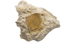 Free Sedimantary Rock With Fossil Stock Photography - 10060462