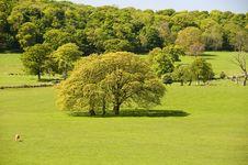 Free Large Oak Tree Royalty Free Stock Image - 10060546