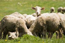 Free Sheep. Royalty Free Stock Image - 10061696
