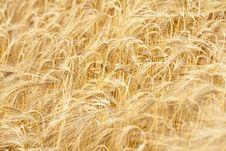 Free Golden Rye Stock Image - 10062231