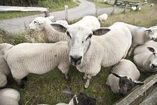 Free Sheeps Stock Photo - 10063030