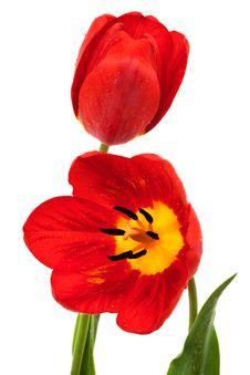 Free Beautiful Red Tulips Stock Photos - 10063293