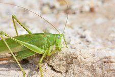 Free Locust Royalty Free Stock Photo - 10063365
