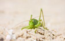 Free Locust Royalty Free Stock Photography - 10063407