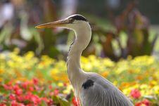 Free Heron Stock Image - 10063411