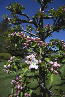 Free Apple Blossoms Stock Image - 10064731