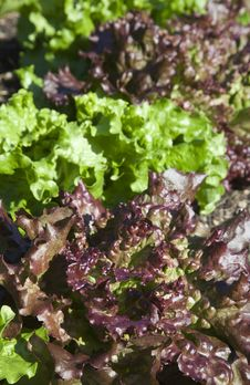 Free Red And Green Lettuce Royalty Free Stock Photo - 10064735