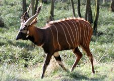 Free Bongo Antelope 2 Stock Images - 10067384