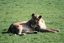 Free Lion 3 Stock Photography - 10067392