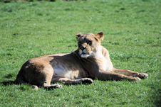 Free Lion 2 Stock Photos - 10067393