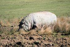 Hippopotamus 3 Stock Images