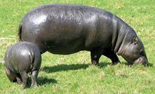Free Pygmy Hippopotamus 2 Royalty Free Stock Images - 10067429