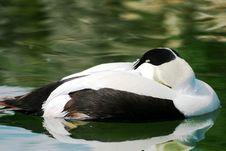 Free Eider Duck Stock Photography - 10067432