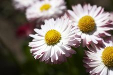Free Camomile Stock Photos - 10069333