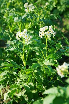 Flowers Of Potato Stock Image