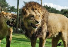 Free Angry Lion Royalty Free Stock Photo - 10069825