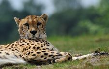 Free Close-up Of A Beautiful Cheetah Royalty Free Stock Photo - 10069895