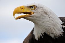 Free American Bald Eagle Royalty Free Stock Photo - 10069935