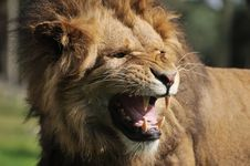 Free Angry Lion Stock Photos - 10069983